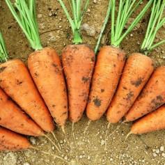 Морковь Шантанэ /0,5кг Rem seeds/